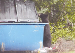 Photo by Larry Lewis, Alaska Department of Fish and Game. A bear investigates a Dumpster on Otter Trail Drive in a previous summer. Bears become habituated to sites where they've enjoyed easy access to food, causing them to return to human-populated areas if they've found dinner there before.