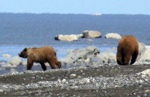 Photo by Patrice Kohl, Redoubt Reporter. Two orphaned brown bear cubs at Captain Cook State Recreation Area wander the beach and scavenge for hooligan during a low tide June 9.