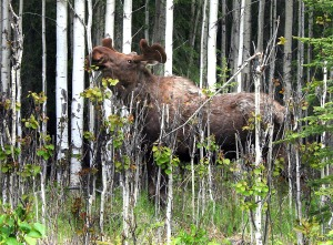 Photo by Clark Fair, Redoubt Reporter. A bull moose browses in the woods on the central Kenai Peninsula recently. Though hunting season doesn't start until fall, summer is a good time to scout locations.