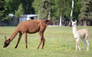 Photo by Patrice Kohl, Redoubt Reporter. A llama grazes in a pasture with a cria nearby at Diamond M Ranch on June 15. In May, a nearly 2-week-old llama was attacked by bald eagles.