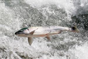 salmon jump 1 June 12 09 Web