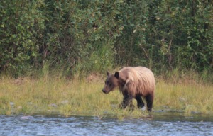 Photo by Patrice Kohl, Redoubt Reporter. A brown bear scavenges for salmon carcasses along the banks of the Kenai River below the Russian River Ferry earlier this month. A large number of carcasses accumulated below the Russian River Ferry this year during the early run due to a strong run and strong catch rate among fishermen.