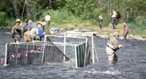 Photo by Patrice Kohl, Redoubt Reporter. Fishermen maneuver around an inclined-plane fish trap in the Russian River on June 11. The trap is set to capture Russian River sockeye smolt.