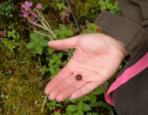 Photos by Jenny Neyman, Redoubt Reporter. Liz Jozwiak, Kenai National Wildlife Refuge biologist, displays a snowshoe hare pellet during a grid count Aug. 17 off Funny River Road.