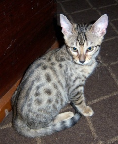Photo courtesy of Joann Odd. Savannah cats come from breeding an African serval wildcat with a domestic cat. This Savannah kitten shows markings reminiscent of its wildcat ancestry.