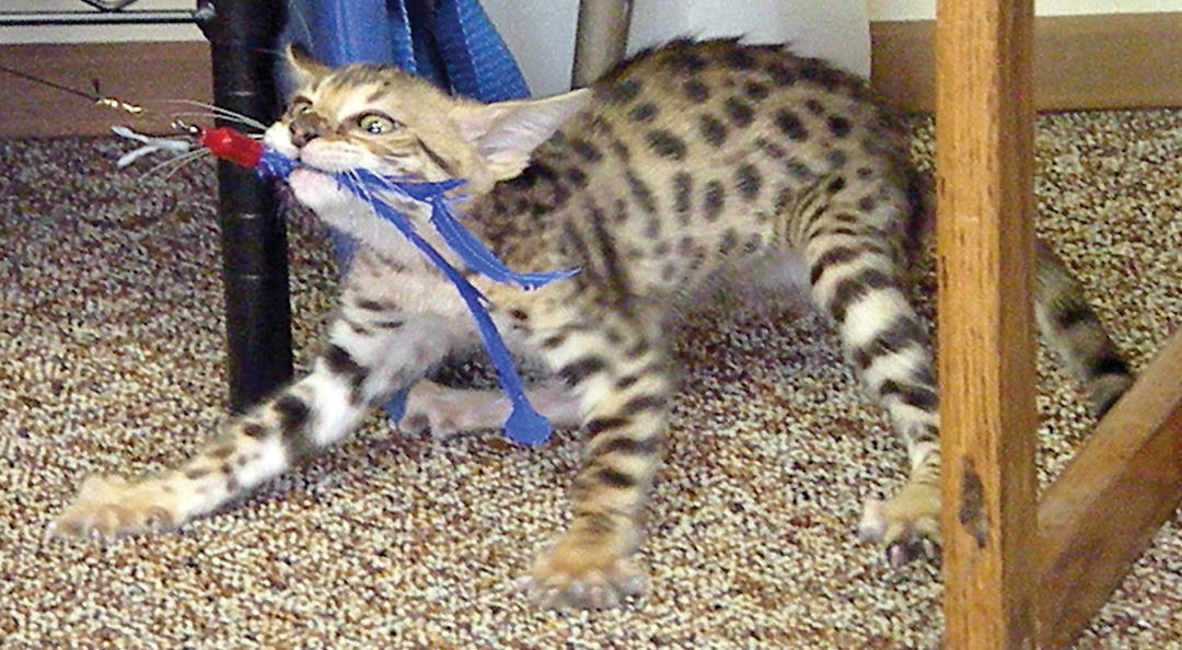 Cat and oust � Fish and Game opposes move to lift restriction on ...