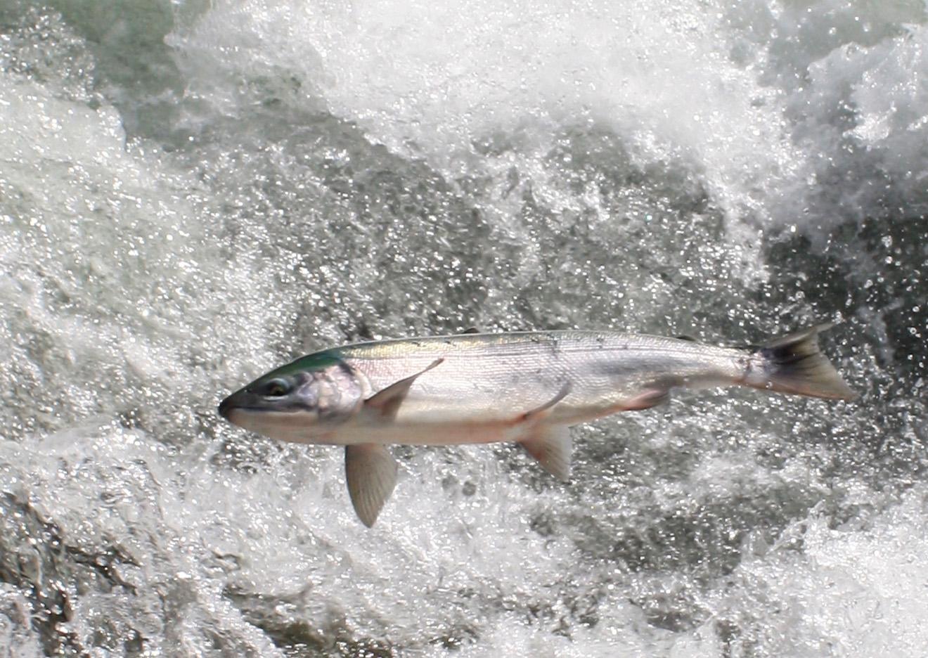Salmon jump 1 june 12 09 web for Alaska fish counts