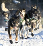The dogs of Jeff King, this year's winner of the Tustumena 200, display a wide range of expressions in the early going of the race. King hails from Denali Park. Jeff King, of Denali Park, won this year's T-200, followed by Cim Smyth and DeeDee Jonrowe. The T-100 was won by Paul Gebhardt, followed by Colleen Robertia and Joseph Robertia. Rebekah Ruzicka took the Jr. T, followed by Guillermo Anton and Alea Robinson.