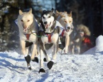 Photos by Clark Fair, Redoubt Reporter. The lead dogs for Micah Degerlund, of Knik, surge across Ichabod Drive at Mile 112 of the Sterling Highway near the beginning of the 2010 Tustumena 200 Sled Dog Race on Saturday.
