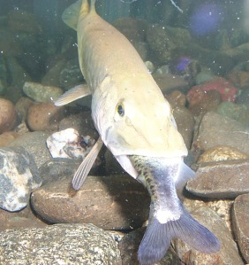 Pike perspective: Prized or public enemy? — Invasive ...