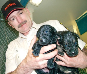 Photo by Joseph Robertia, Redoubt Reporter, Brett Reid, chief animal control officer at the Kenai Animal Shelter, holds up two wet puppies, soaked after playing in their water bowl, in May 2010. Reid recently retired after 31 years on the job.