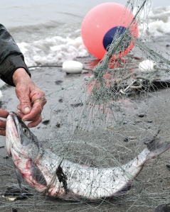 Photos by Joseph Robertia, Redoubt Reporter. Sockeye salmon are known for putting up a good fight. All their twisting and wiggling once caught in a gillnet can lead to a big tangle when trying to get them out.
