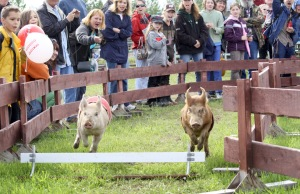 File photo by Clark Fair, Redoubt Reporter. The ever-popular Kenai Peninsula Racing Pigs returrn to the Kenai Peninsula Fair this weekend.