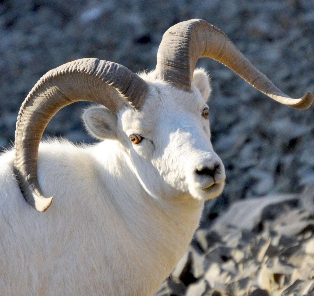 the dall sheep in polychrome