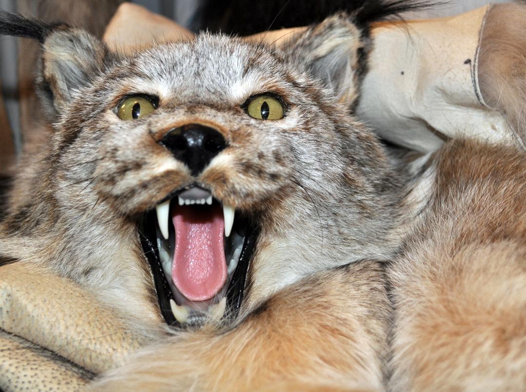 Heartfelt — Fur sewer transforms love of craft into bustling ... for Lynx Pelt  300lyp
