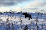 """Searching for Greener Pastures,"" a moose in the Russian Orthodox Church cemetery in Ninilchik on Jan. 2, by David Reese, of Kenai."