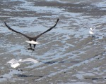 """Fresh Meat After A Long Winter"" shows a bald eagle escaping the gulls with fresh salmon after a long winter of eating who knows what, by Amy Williams-Christopher, of Kasilof."
