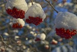 """Mountain Ash,"" by Wade W. Wahrenbrock, of Sterling, taken Nov. 22. ""The robins and waves of grosbeak harvested many of the clumps of berries on my mountain ash tree, but there were enough left to take this photo of berries with crowns of early winter snow."""