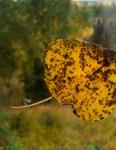 """Lasting Leaf,"" by Desiree Bell, of Kasilof, taken Sept. 16."