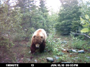 Photos courtesy of John Morton, Kenai National Wildlife Refuge. A brown bear boar leaves a hair-collecting station during a population census conducted during 2010. The resulting report pegs the Kenai Peninsula's brown bear population at 624, the highest probability point in the range produced in the study.