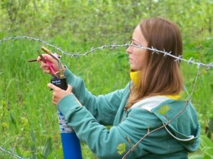 Rebecca Zulueta retrieves bear hair from barbed wire at a lure station site used in the 2010 Kenai Peninsula brown bear population census project.