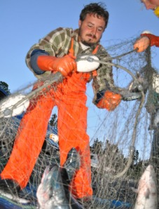 File photo by Joseph Robertia, Redoubt Reporter. Jared Turbyfill picks fish from a commercial net in Cook Inlet. Last summer saw a tough situation with both the east-side commercial set-net and Kenai king sport fisheries beached.