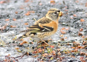 Photo courtesy of Carol Griswold. Several bramblings, another rare bird for the Kenai Peninsula, have been showing up in Seward and beyond.