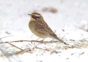 Photos courtesy of Carol Griswold. A Siberian Accentor — a small bird with a brown-streaked back and yellowish eyebrows and underparts — showed up in Seward late last month.