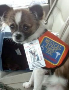 Dolly, a Chihuahua-Pomeranian mix, is in training to be a service dog.
