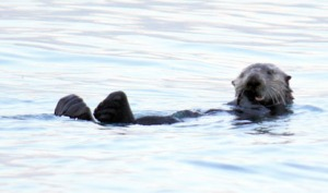 Redoubt Reporter file photo. A sea otter bobs in the surf out of Seward. Otters are voracious eaters and are devastating the shellfish industry in Southeast.