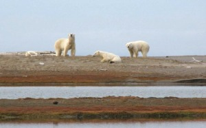 polar bear males Kaktovik 13-14 Sept 2012