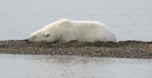 Photo courtesy of Dr. David Wartinbee. A polar bear rests on a gravel bar near Kaktovik during September 2010. Until sea ice reforms in the winter, bears are relegated to shore.waiting for the sea ice to form.