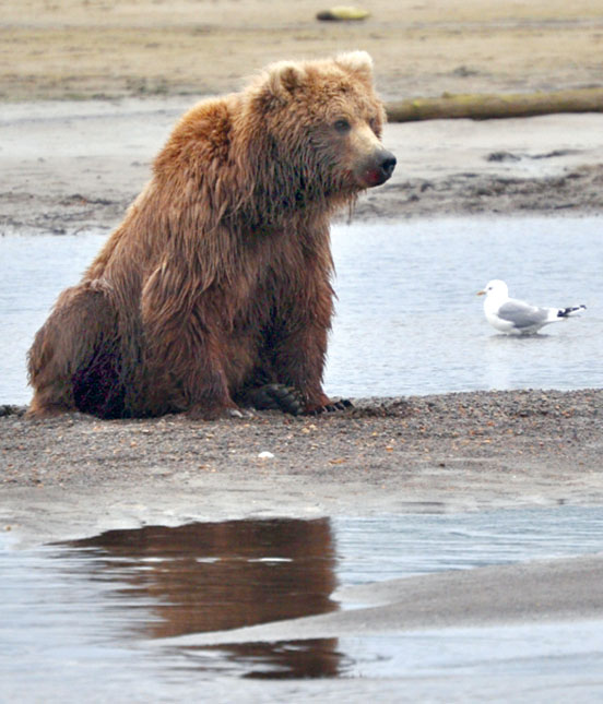 Bear in mind — Unarmed birder fights off unusual brown bear attack