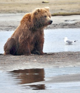 Photo by Joseph Robertia, Redoubt Reporter. While not often spotted on popular recreational beaches, it is not uncommon for bears to patrol shorelines, looking for potential meals washing up in the surf, like this one photographed two years ago. A brown bear sow attacked a family of birdwatchers out for a walk on the Kasilof Beach on Sunday.