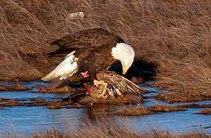 Photos courtesy of Marianne Clark. Marianne Clark captured an exciting show of a bald eagle attacking a migratory duck on the Kenai River Flats off Bridge Access Road about two weeks ago.