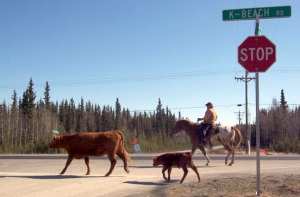 Mike Ashwell accompanies a cow and her weeks-old calf across an intersection along Kalifornsky Beach Road on Saturday during the Soldotna Equestrian Association's annual cattle drive held to kick off rodeo season.