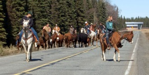 Photos by Jenny Neyman, Redoubt Reporter. Cowboys and cowgirls on horseback drive cattle down College Road on Sunday, during their trek from Diamond M Ranch to the Soldotna Rodeo Grounds.