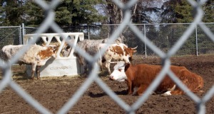 By the end of the day the cows were safely penned at the rodeo grounds, awaiting more cattle from Kodiak and the Matanuska-Susitna area.
