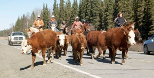 cattle drive traffic