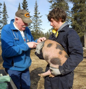 Photos courtesy of Sarah Donchi, Kenai Feed. Ben Miller holds a pig for Dr. Jerry Nybakken to examine at Kenai Feed last week.