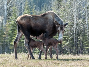 moose calves 4