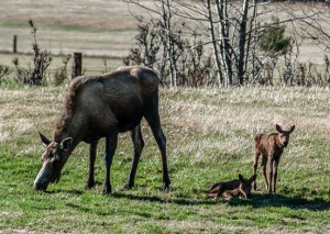 Photos by Joe Kashi, for the Redoubt Reporter. A cow moose nurses her twin newborn calves in a field along Robinson Loop Road in Sterling on Tuesday. Moose calves tend to be born in about a four-week period from mid-May to early June. They can stand soon after being born, and begin to nurse almost immediately. Mother's milk is their main sustenance for about the first month of life.