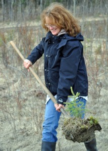Kathryn Dunagan uses a shovel to lift out her freshly dug spruce alongside the Sterling Highway on Saturday.