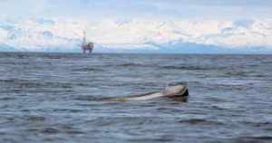 A beluga whale surfaces in Cook Inlet on May 1, with an oil rig in the background.