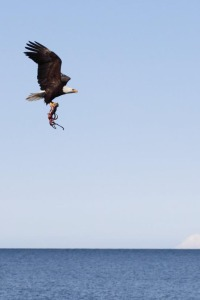 Photos courtesy of Brentwood Higman and Erin McKittrick, of Ground Truth Trekking, of Seldovia. Seldovia's Brentwood Higman and Erin McKittrick, of Ground Truth Trekking, are navigating around Cook Inlet with their two kids, seeing some interesting sights along the way. Here a bald eagle snatches a tasty meal, a squid, from the waters of Cook Inlet.