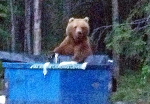 "Photo courtesy of Ellie Nelson. Ellie Nelson, of Soldotna, and her son spotted this brown bear sow and her cubs rummaging in a Dumpster behind Cornerstone Marketplace at the ""Y"" intersection in downtown Soldotna about 11:30 p.m. Sunday."