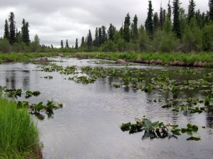 Photo courtesy of Dr. David Wartinbee. The Swanson River, stretching from Sterling to Nikiski, is one of many water bodies hosting anadromous fish species in the Kenai Peninsula Borough.