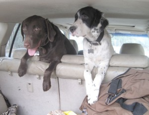 Cheyenne, a setter, and Winchester, a Lab, are ready to go hunting.