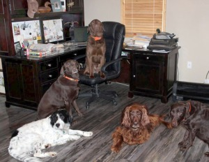 Photos courtesy of Christine Cunningham. Three Labs, one English setter and an Irish setter make a snuggly heap around the computer.