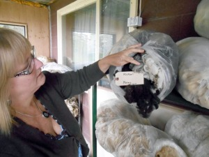 Jane Conway shows the hogget fleece of her new Merino ram Michael. A hogget fleece is the first fleece produced by a yearling, prized for having special luster and crimp as it contains the baby lamb wool on its tips. Conway prepares the raw fleeces for storage and works on marketing the fleeces to local fiber artists.